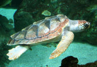 Caretta Caretta (Sea Turtle Song)